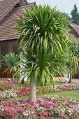 Dracaena Loureiri Tree (ornamental Garden Plant)