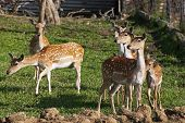 European Fallow Deer (dama Dama)