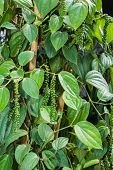 pic of peppercorns  - Pepper plant with immature peppercorns on tree - JPG