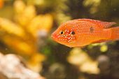 foto of loach  - Fishes in an aquarium float and don - JPG