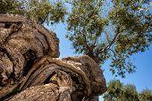 Twisted Olive Tree