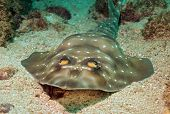 picture of guitarfish  - Gorgona Guitarfish (Rhinobatos Prahli) Catalina Islands Costa Rica