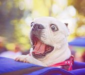 stock photo of spayed  - a cute french bulldog at a local park done with a retro vintage instagram filter - JPG