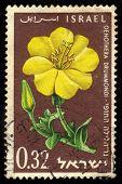 Oenothera Drummondi