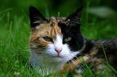 Checkered Cat