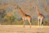 Two giraffes (Giraffa camelopardalis) in the African savanna