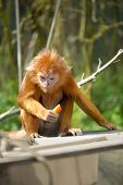 ebony langur  or orange monkey on tree