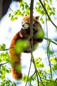 Red Panda sleeping on a branch