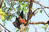 image of genital  - Flying Fox upside down on the tree - JPG