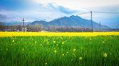 Mustard Field With Himalaya Background