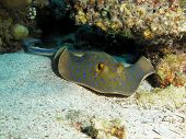 Ribbontail stingray