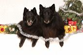 stock photo of ten years old  - Two gorgeous black dogs ten years old bitch and six years old dog with christmas decorations - JPG