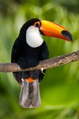 Toco Toucan In Deep Vegetation