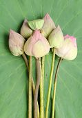 Nelumbo Nucifera On Lotus Leaf Background