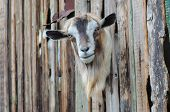 picture of pry  - Bearded goat looking through a wooden fence boards - JPG