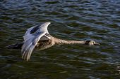 Young Swan In Flight