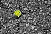 Dandelion in asphalt