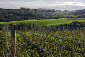vineyard in south moravia