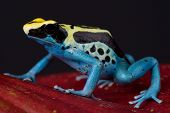 picture of poison dart frogs  - The dyeing dart frog is a big - JPG