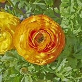 orange buttercup flower closeup