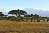 image of kilimanjaro  - Elephant with Mount Kilimanjaro in the background - JPG