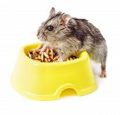 Hamster In Yellow Bowl