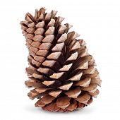 closeup of a pine cone on a white background