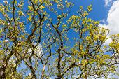 image of galway  - Blooming magnolia tree early spring in County Galway - JPG