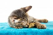 Grey Tabby Kitten Lying On Blue Plush Soft Surface