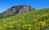 Yellow wild flowers on mountain meadow