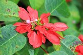 picture of poinsettia  - Fresh Christmas red poinsettia plants in garden - JPG