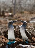 Kissing Blue-footed Boobys.