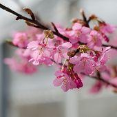 image of sakura  - Beautiful pink cherry blossom  - JPG