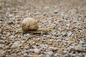 picture of mollusca  - Close up of a land snail gliding across a pebble surface - JPG