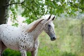 stock photo of horse-breeding  - Portrait of knabstrupper breed horse  - JPG