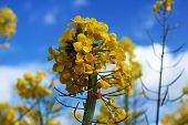 stock photo of rape  - Yellow flower of rape against the blue sky - JPG