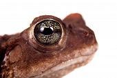 stock photo of amphibious  - The Colorado River or Sonoran Desert toad Incilius alvarius on white - JPG
