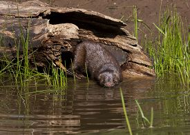 stock photo of hollow log  - Mink leaving hollow log to swim in lake water - JPG