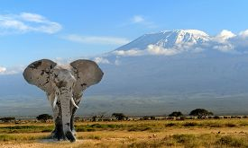 picture of nationalism  - Elephant on Kilimanjaro mountain background. National Park of Kenya Africa ** Note: Shallow depth of field - JPG
