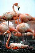 foto of flamingo  - Colony of Great Flamingo - JPG