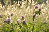 image of chives  - Chives Growing Besides a Wheat Field in Manali - JPG