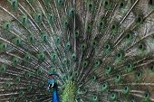 image of blue animal  - Indian peafowl  - JPG