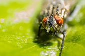 stock photo of blowfly  - isolated close up house fly on the green background - JPG
