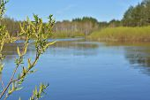 foto of willow  - Blooming willow river is in the background - JPG
