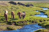 image of iceland farm  - Horses in a green field of grass at Iceland Rural landscape - JPG