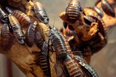 image of cockroach  - Madagascar hissing  - JPG
