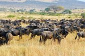 picture of wildebeest  - Wildebeest antelopes in the savannah Masai Mara Kenya during the Great migration - JPG