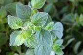 picture of oregano  - Closeup photo of Oregano in the garden - JPG