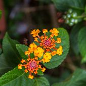 stock photo of lantana  - Lantana or Wild sage or Cloth of gold or Lantana camara flower - JPG