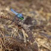 pic of dragonflies  - Blue bodied dragonfly on a twig looking for a bug to eat - JPG